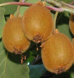 Kiwi actinidia sinensis hayward
