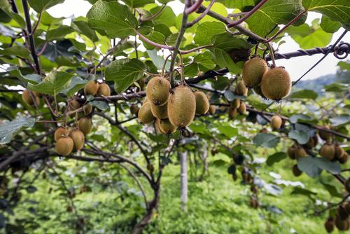 quelle variété de kiwi planter