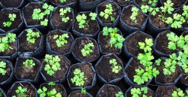 planter de la coriandre
