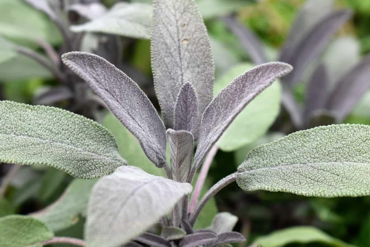 cultiver la sauge officinale pour ses arômes et ses propriétés
