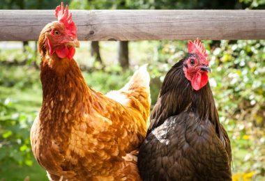 Meilleur petit poulailler pour 2 poules