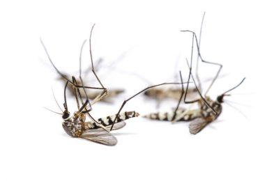 moustiques morts