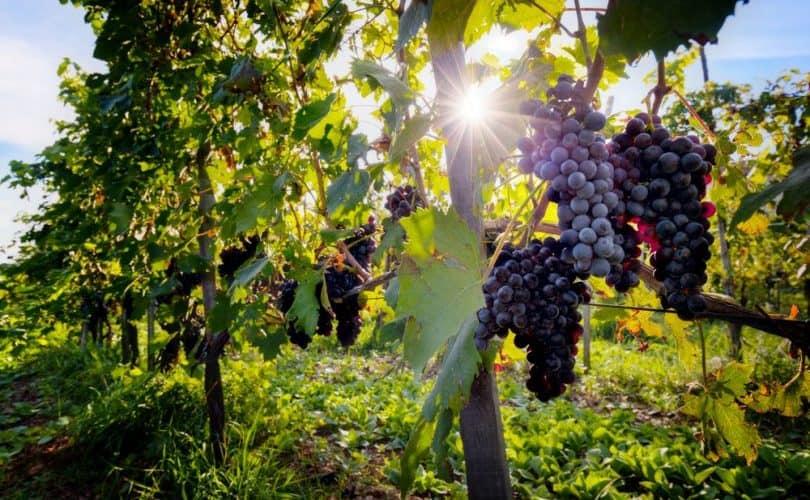 Cultiver La Vigne De La Plantation A La Recolte Bricolea